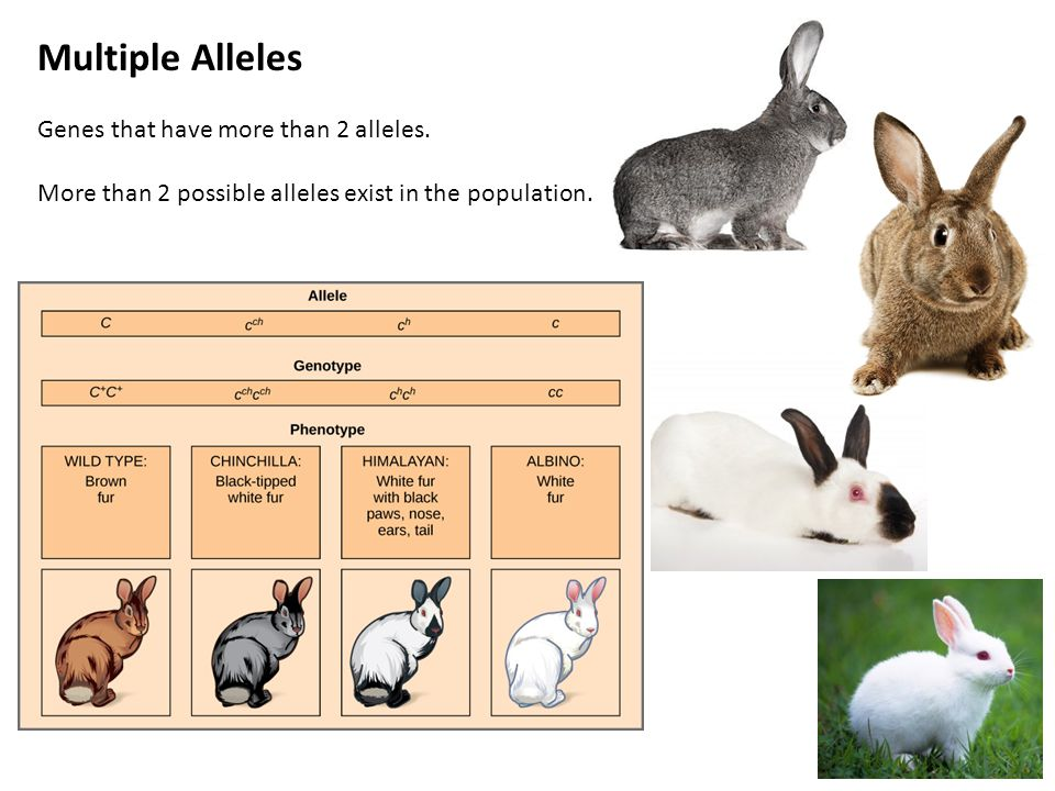 Multiple Alleles Genes that have more than 2 alleles.
