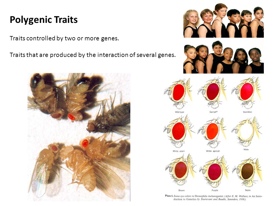 Polygenic Traits Traits controlled by two or more genes.
