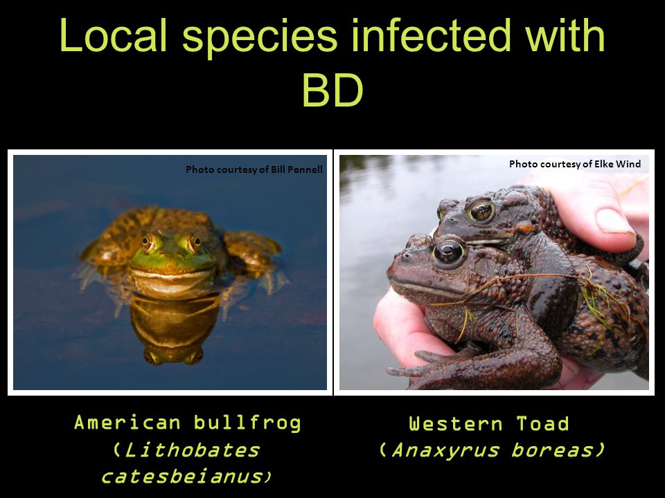 Local species infected with BD American bullfrog (Lithobates catesbeianus ) Western Toad (Anaxyrus boreas) Photo courtesy of Bill Pennell Photo courtesy of Elke Wind Detected on Vancouver Island (Garner et al., 2006) Detected in Nanaimo (Baxter, 2012 unpublished data)