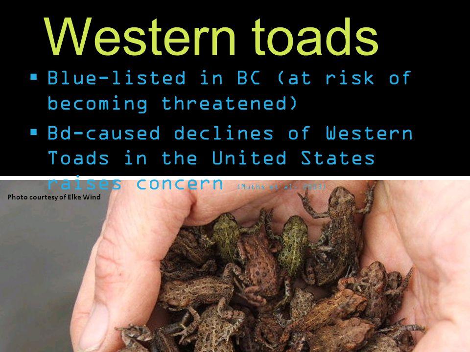 Western toads  Blue-listed in BC (at risk of becoming threatened)  Bd-caused declines of Western Toads in the United States raises concern (Muths et al.