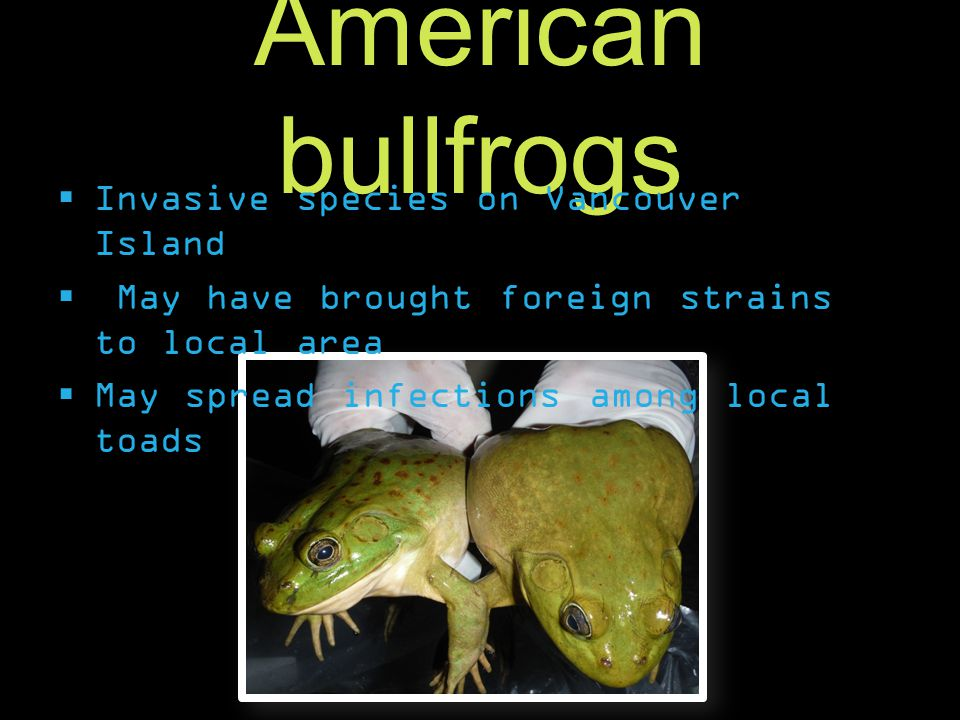 American bullfrogs  Invasive species on Vancouver Island  May have brought foreign strains to local area  May spread infections among local toads