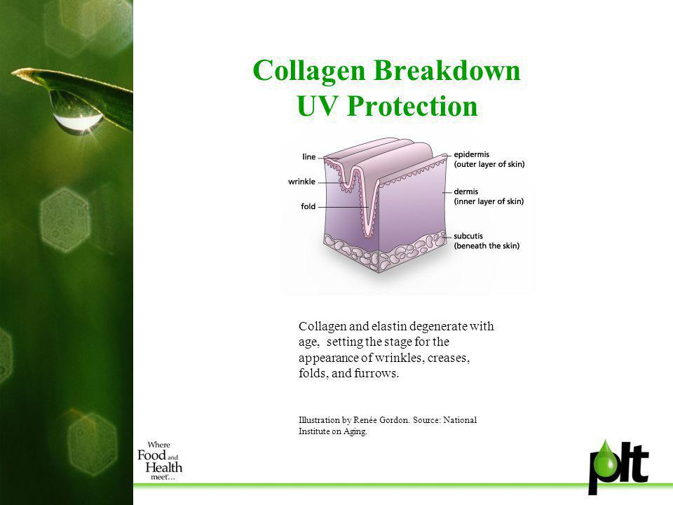 Collagen Breakdown UV Protection Collagen and elastin degenerate with age, setting the stage for the appearance of wrinkles, creases, folds, and furrows.