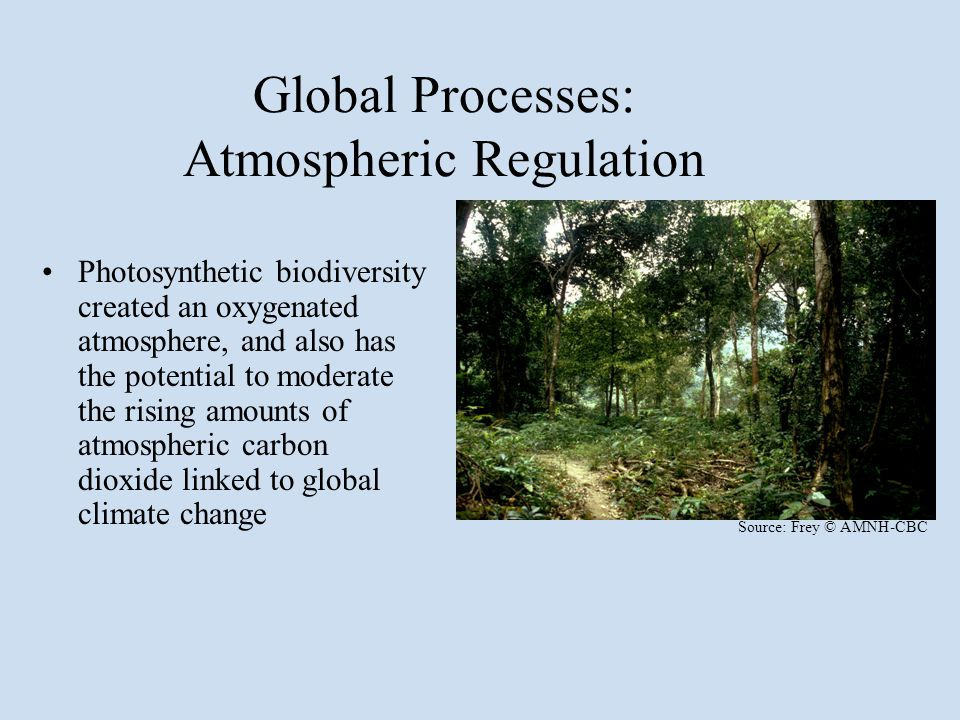 Global Processes: Atmospheric Regulation Photosynthetic biodiversity created an oxygenated atmosphere, and also has the potential to moderate the rising amounts of atmospheric carbon dioxide linked to global climate change Source: Frey © AMNH-CBC