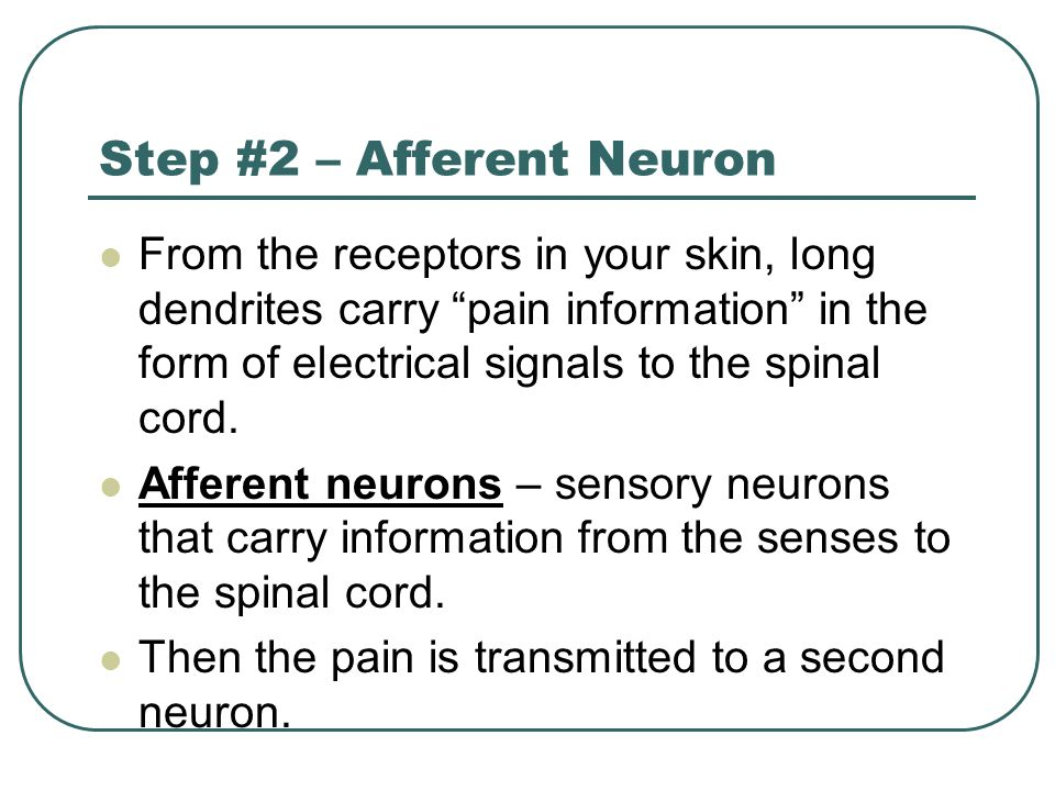 Step #2 – Afferent Neuron From the receptors in your skin, long dendrites carry pain information in the form of electrical signals to the spinal cord.
