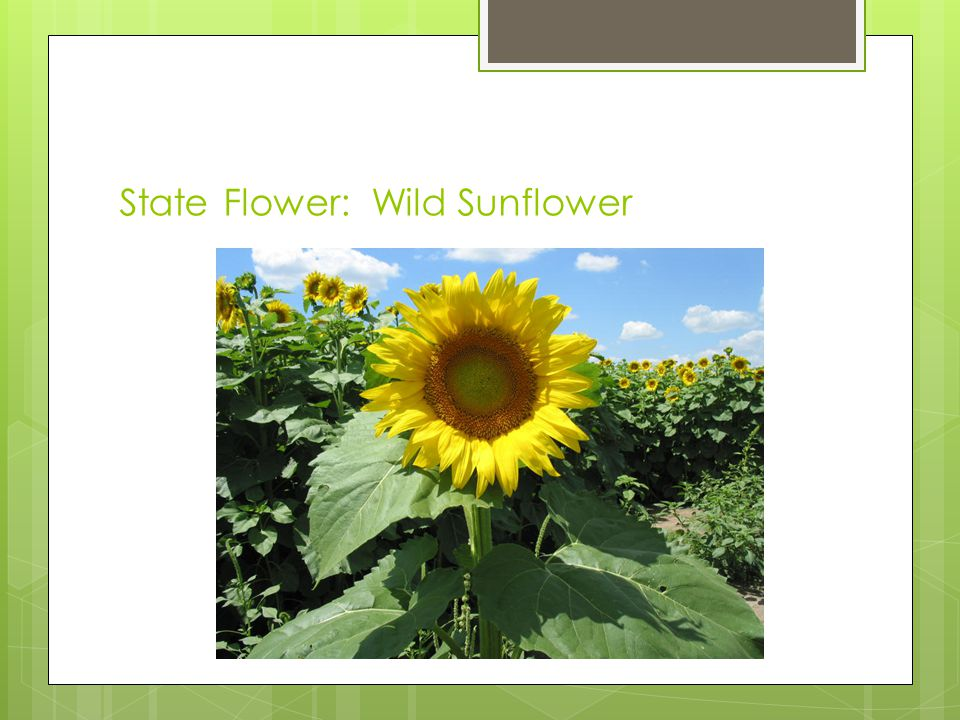 State Flower: Wild Sunflower