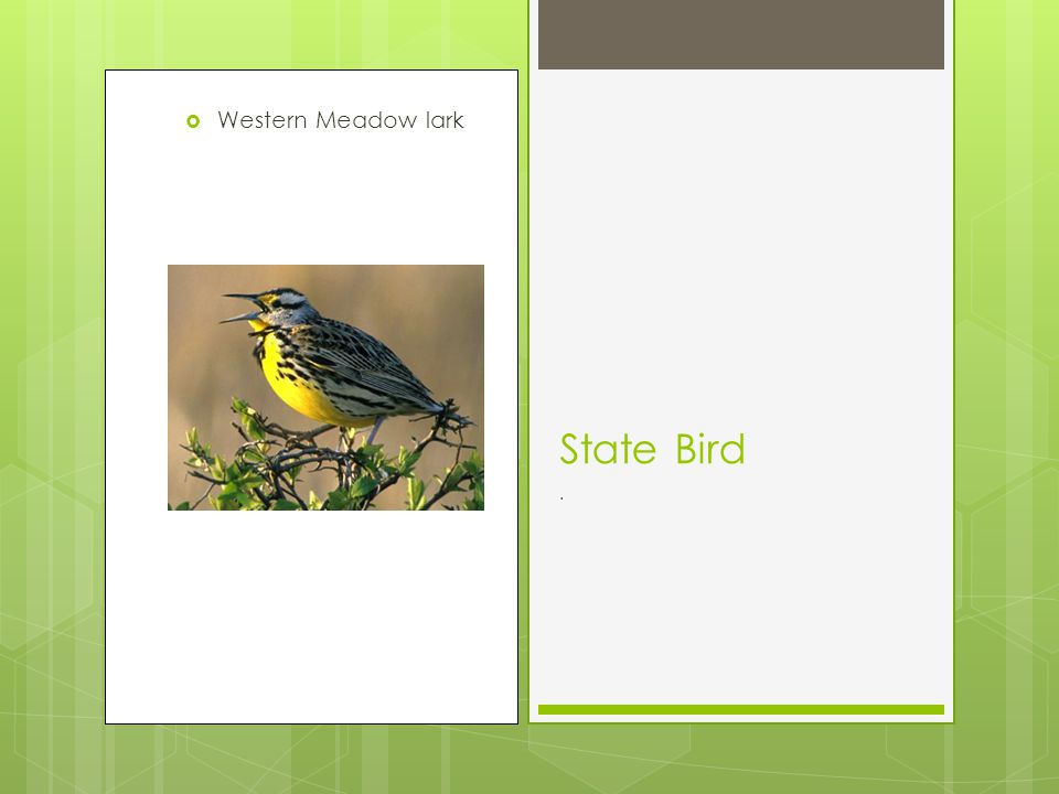 Western Meadow lark State Bird.