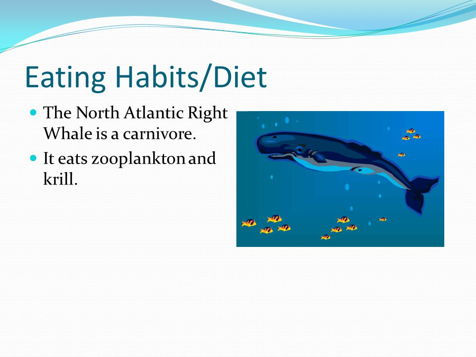 Eating Habits/Diet The North Atlantic Right Whale is a carnivore. It eats zooplankton and krill.