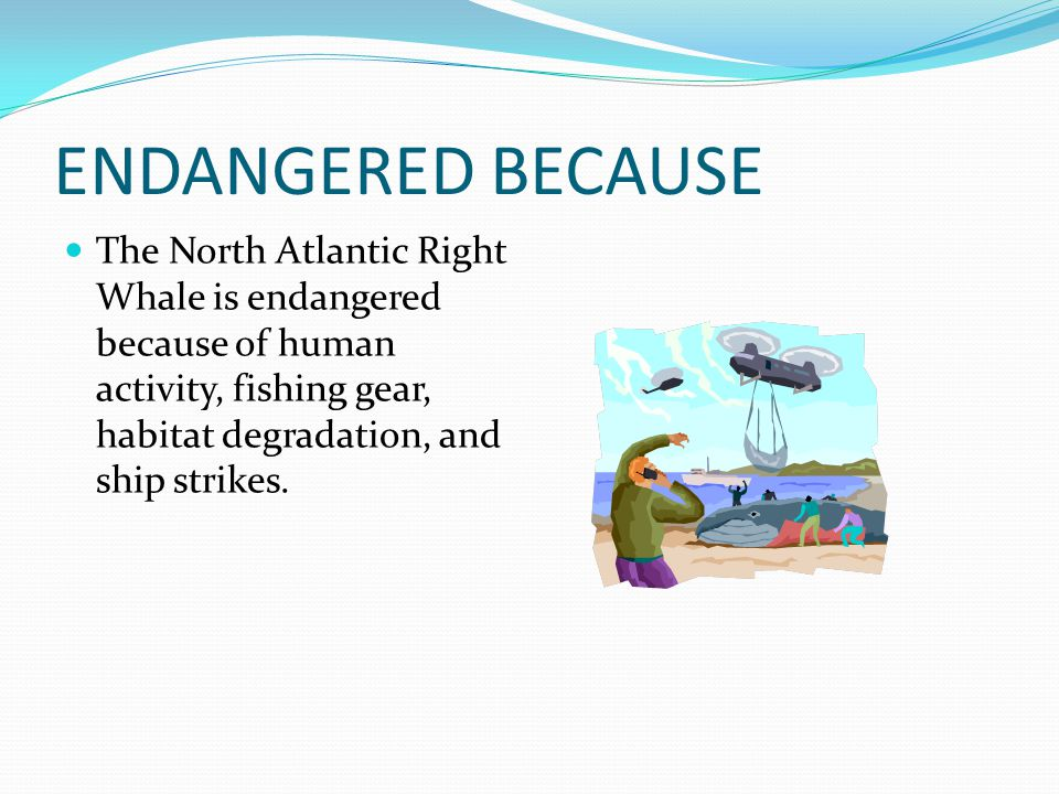 ENDANGERED BECAUSE The North Atlantic Right Whale is endangered because of human activity, fishing gear, habitat degradation, and ship strikes.