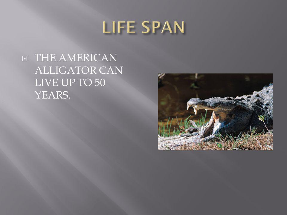  THE AMERICAN ALLIGATOR CAN LIVE UP TO 50 YEARS.