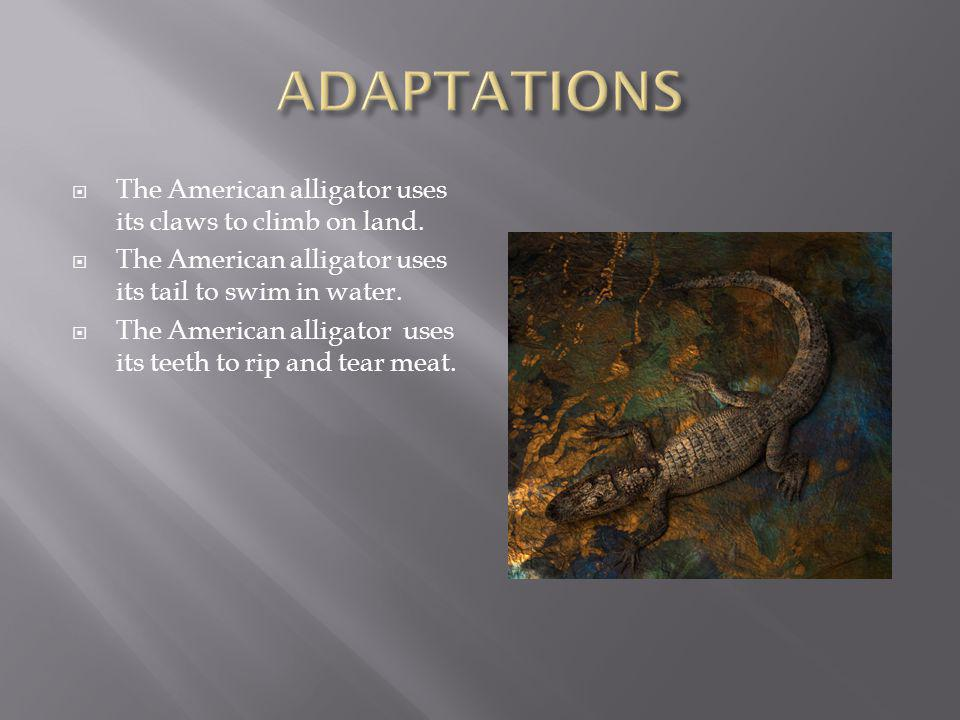  The American alligator uses its claws to climb on land.