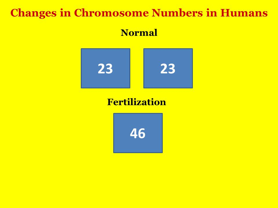 Changes in Chromosome Numbers in Humans 46 23 Fertilization Normal