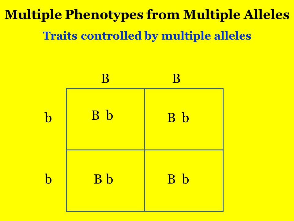 Multiple Phenotypes from Multiple Alleles Traits controlled by multiple alleles B b B b B B bB bb b B