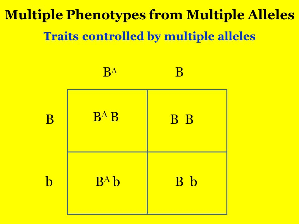 Multiple Phenotypes from Multiple Alleles Traits controlled by multiple alleles BABA B B b B BABA BBABA bb B B