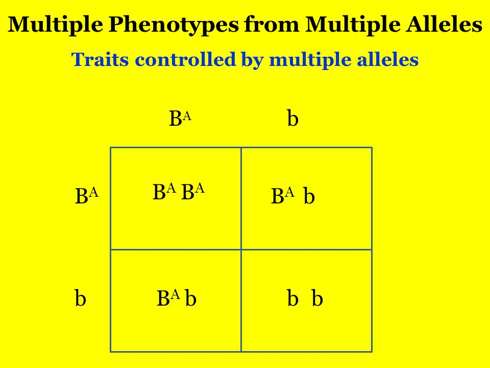 Multiple Phenotypes from Multiple Alleles Traits controlled by multiple alleles BABA BABA b b BABA BABA BABA BABA bb b b