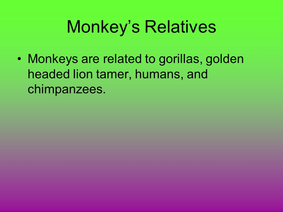 Monkey's Relatives Monkeys are related to gorillas, golden headed lion tamer, humans, and chimpanzees.