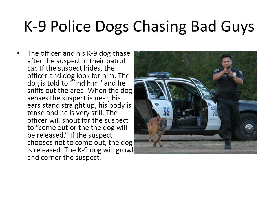 K-9 Police Dogs Chasing Bad Guys The officer and his K-9 dog chase after the suspect in their patrol car.