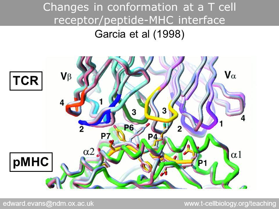 edward.evans@ndm.ox.ac.ukwww.t-cellbiology.org/teaching Changes in conformation at a T cell receptor/peptide-MHC interface TCR pMHC Garcia et al (1998)