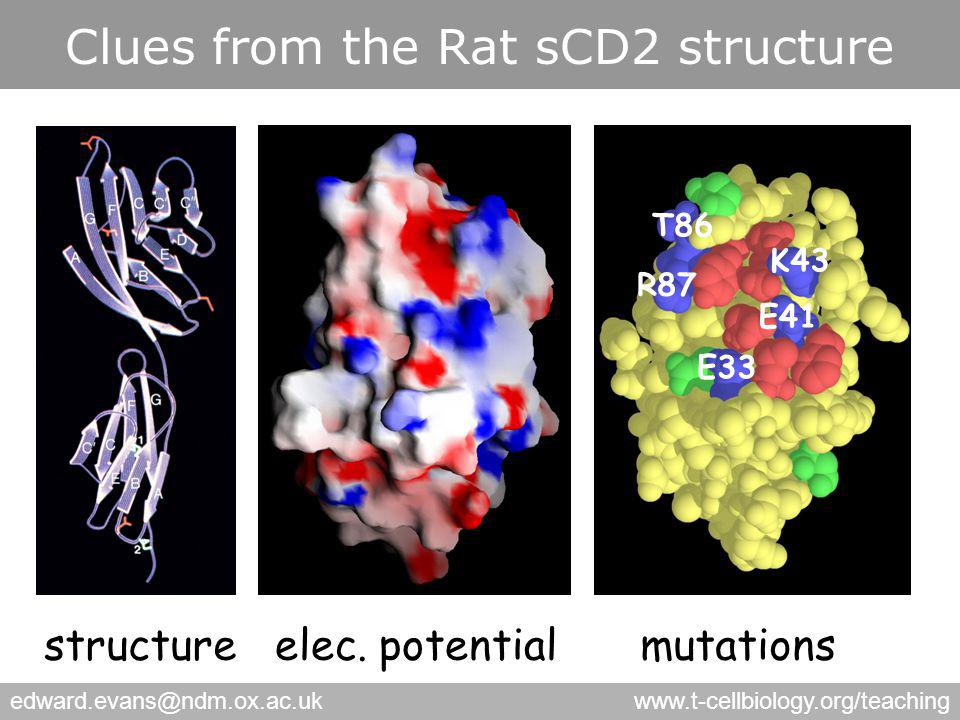 edward.evans@ndm.ox.ac.ukwww.t-cellbiology.org/teaching Clues from the Rat sCD2 structure T86 R87 K43 E41 E33 structureelec.