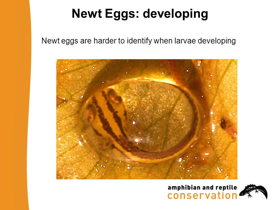 Newt Eggs: developing Newt eggs are harder to identify when larvae developing