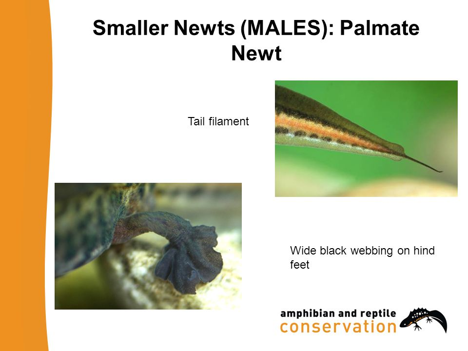 Tail filament Wide black webbing on hind feet Smaller Newts (MALES): Palmate Newt
