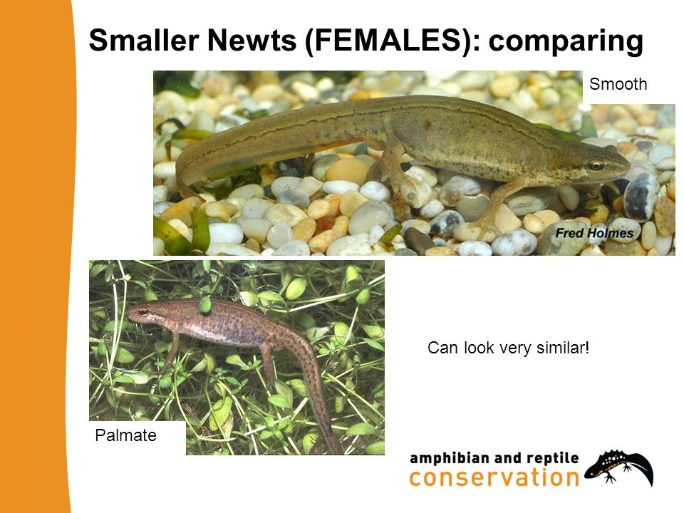 Palmate Smooth Smaller Newts (FEMALES): comparing Can look very similar!