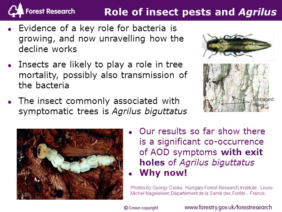 Role of insect pests and Agrilus Evidence of a key role for bacteria is growing, and now unravelling how the decline works Insects are likely to play a role in tree mortality, possibly also transmission of the bacteria The insect commonly associated with symptomatic trees is Agrilus biguttatus Photos by Gyorgy Csoka, Hungary Forest Research Institute; Louis- Michel Nageleisen,Département de la Santé des Forêts - France.
