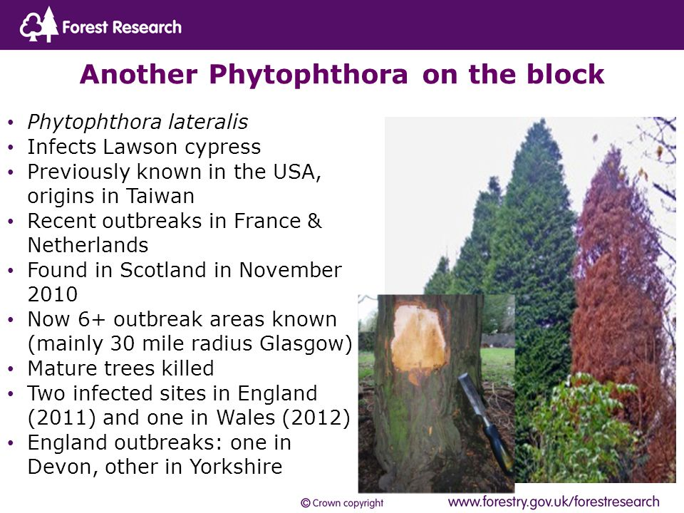 Phytophthora lateralis Infects Lawson cypress Previously known in the USA, origins in Taiwan Recent outbreaks in France & Netherlands Found in Scotland in November 2010 Now 6+ outbreak areas known (mainly 30 mile radius Glasgow) Mature trees killed Two infected sites in England (2011) and one in Wales (2012) England outbreaks: one in Devon, other in Yorkshire Another Phytophthora on the block