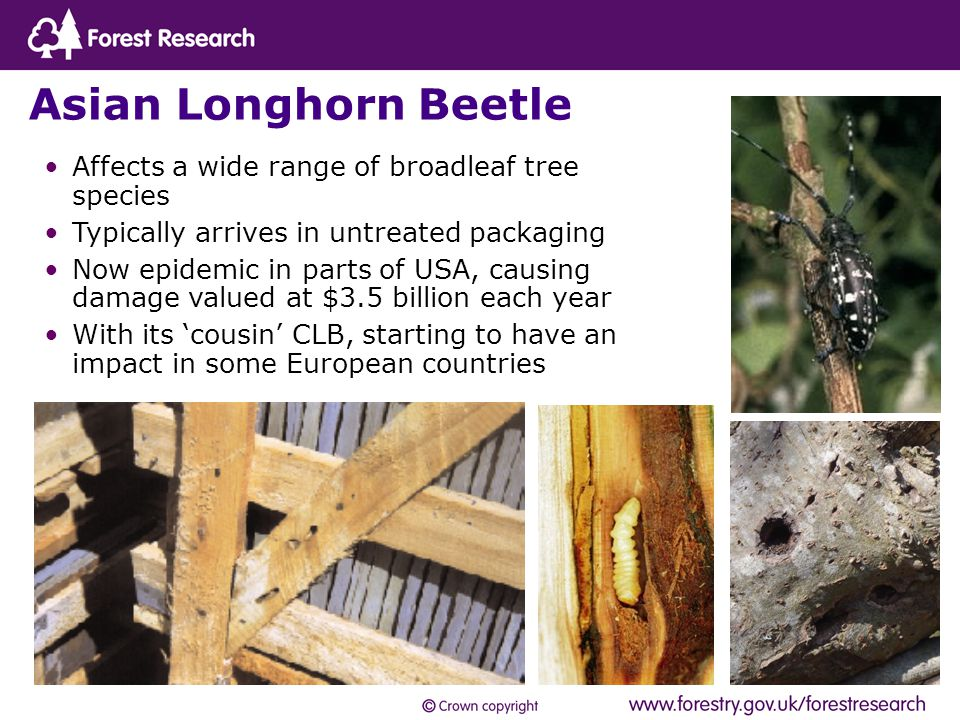 Asian Longhorn Beetle Affects a wide range of broadleaf tree species Typically arrives in untreated packaging Now epidemic in parts of USA, causing damage valued at $3.5 billion each year With its 'cousin' CLB, starting to have an impact in some European countries