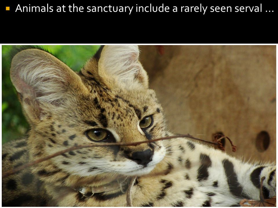  Animals at the sanctuary include a rarely seen serval...