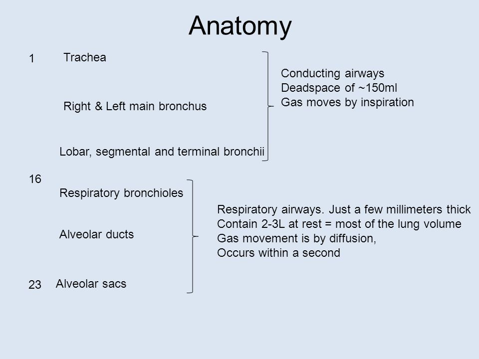 Anatomy Trachea Right & Left main bronchus Lobar, segmental and terminal bronchii Respiratory bronchioles Alveolar ducts Alveolar sacs Conducting airways Deadspace of ~150ml Gas moves by inspiration Respiratory airways.