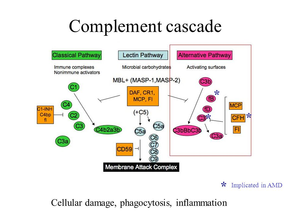 Complement cascade Cellular damage, phagocytosis, inflammation * * * * Implicated in AMD