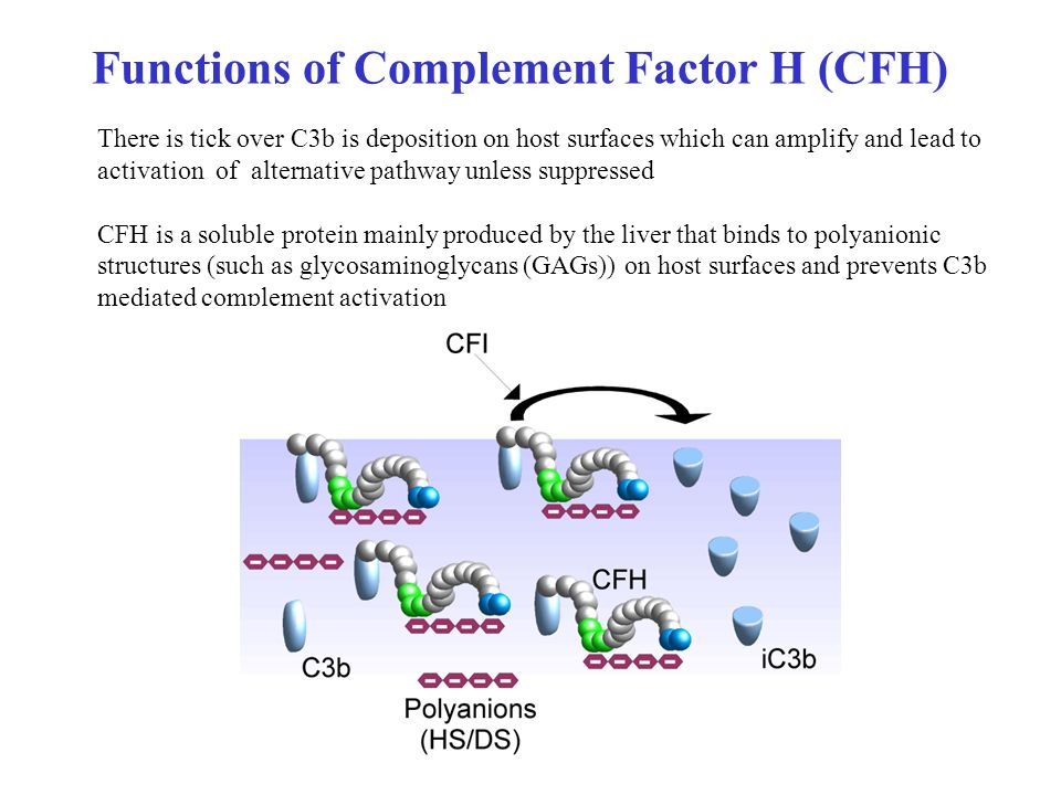 Functions of Complement Factor H (CFH) There is tick over C3b is deposition on host surfaces which can amplify and lead to activation of alternative pathway unless suppressed CFH is a soluble protein mainly produced by the liver that binds to polyanionic structures (such as glycosaminoglycans (GAGs)) on host surfaces and prevents C3b mediated complement activation