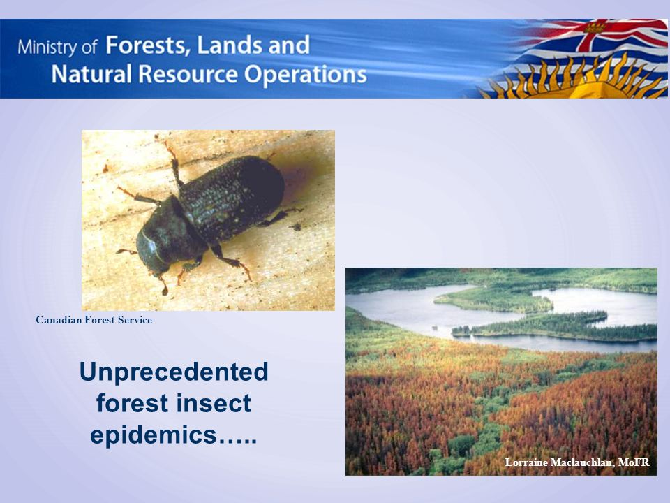 Canadian Forest Service Lorraine Maclauchlan, MoFR Unprecedented forest insect epidemics…..