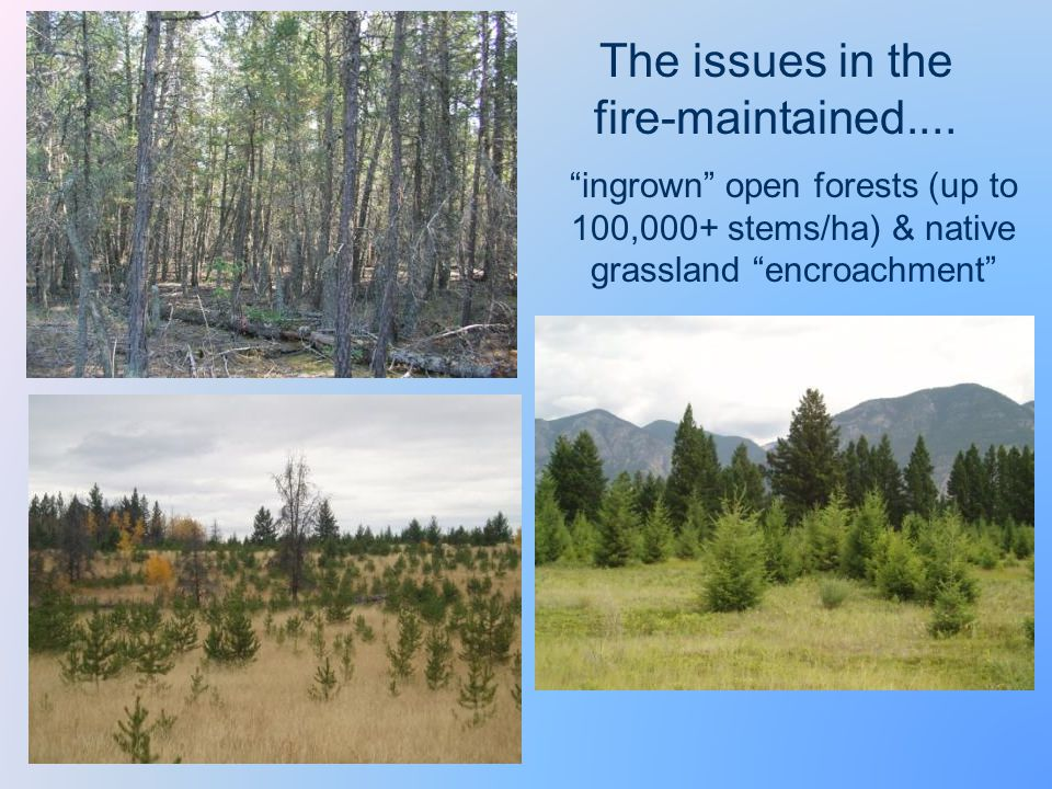 ingrown open forests (up to 100,000+ stems/ha) & native grassland encroachment The issues in the fire-maintained....