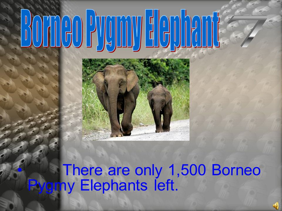 There are only 1,500 Borneo Pygmy Elephants left.