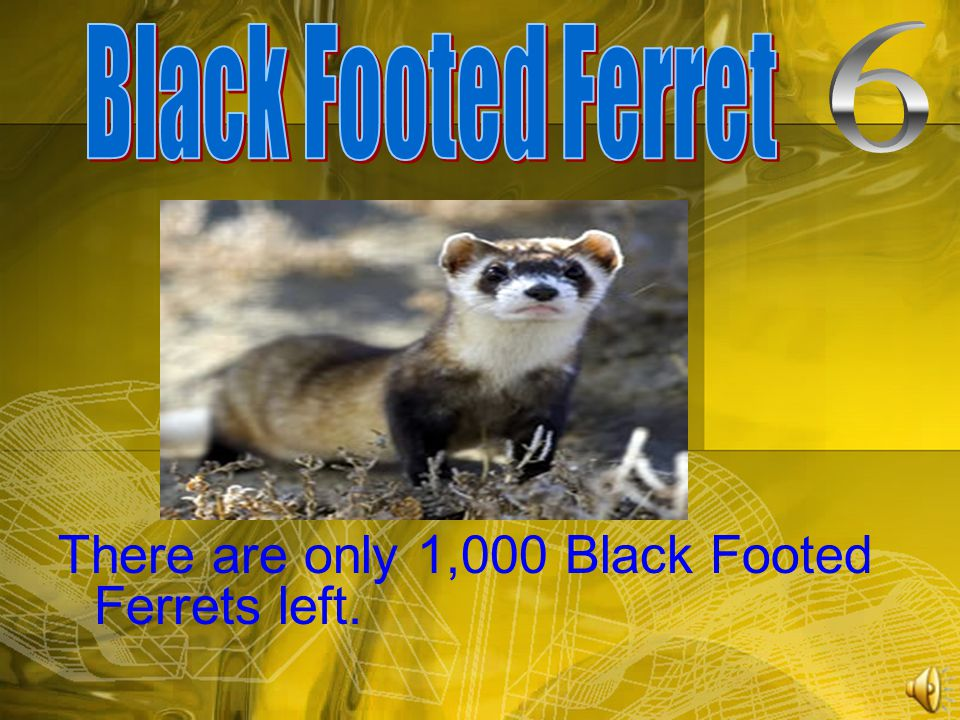 There are only 1,000 Black Footed Ferrets left.