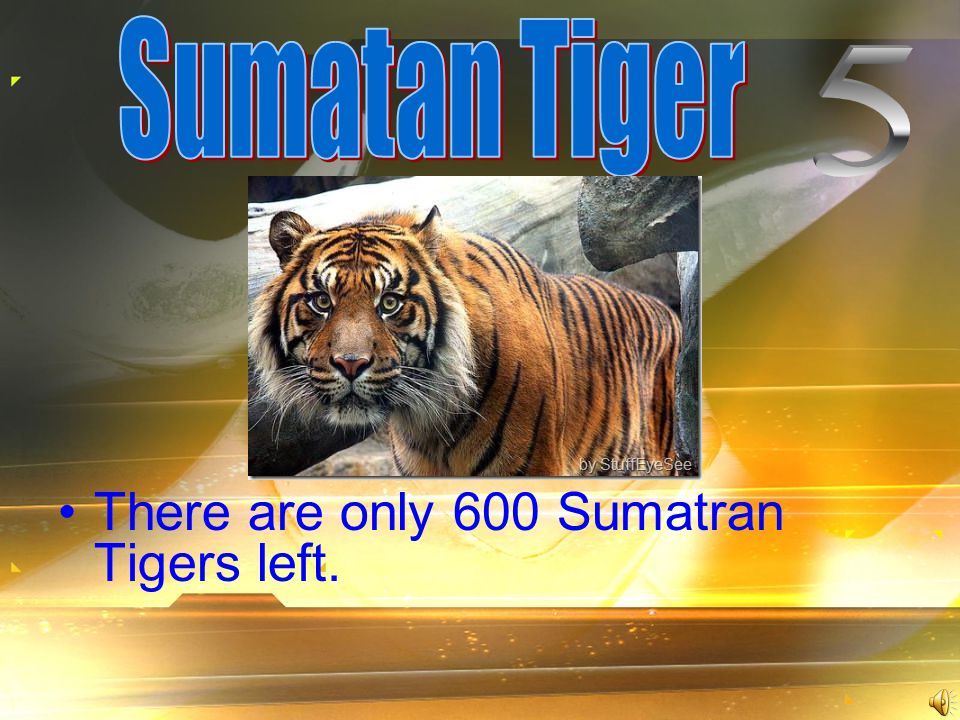 There are only 600 Sumatran Tigers left.
