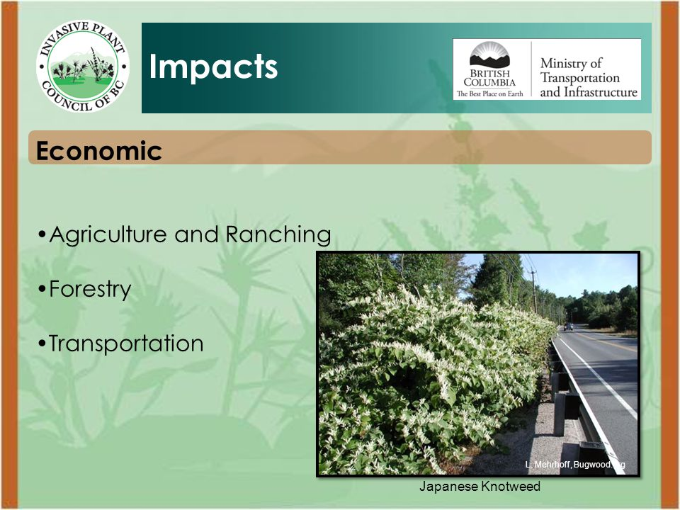 Japanese Knotweed Economic Agriculture and Ranching Forestry Transportation Impacts L.