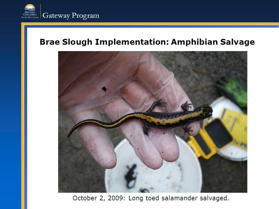 Gateway Program Brae Slough Implementation: Amphibian Salvage October 2, 2009: Long toed salamander salvaged.