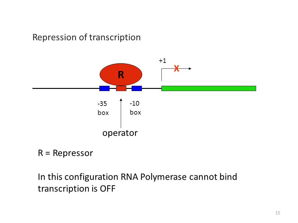 +1 -10 box -35 box operator R R = Repressor In this configuration RNA Polymerase cannot bind transcription is OFF X Repression of transcription 15