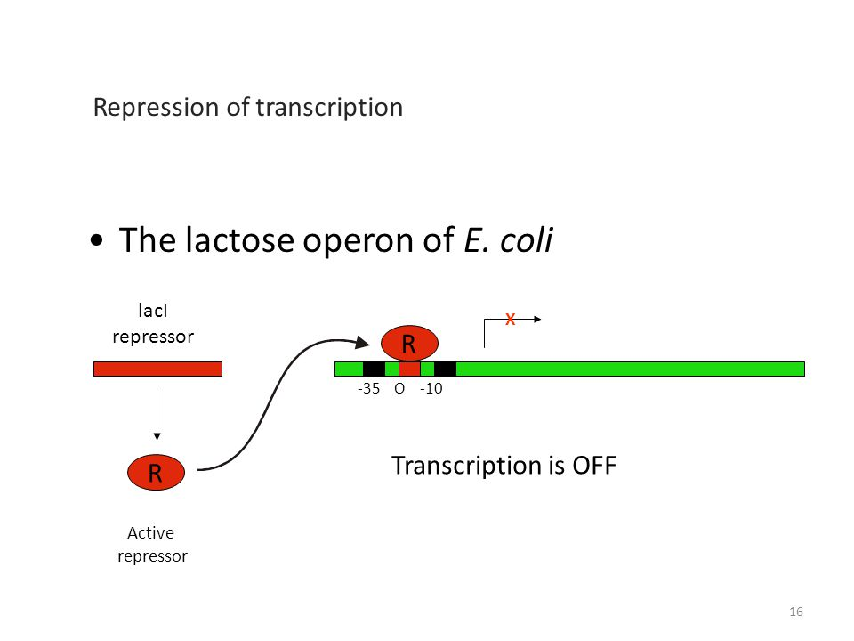 The lactose operon of E.