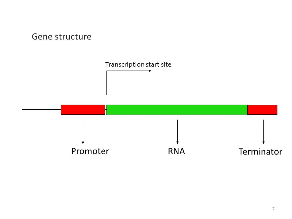 RNA Transcription start site Promoter Gene structure Terminator 7