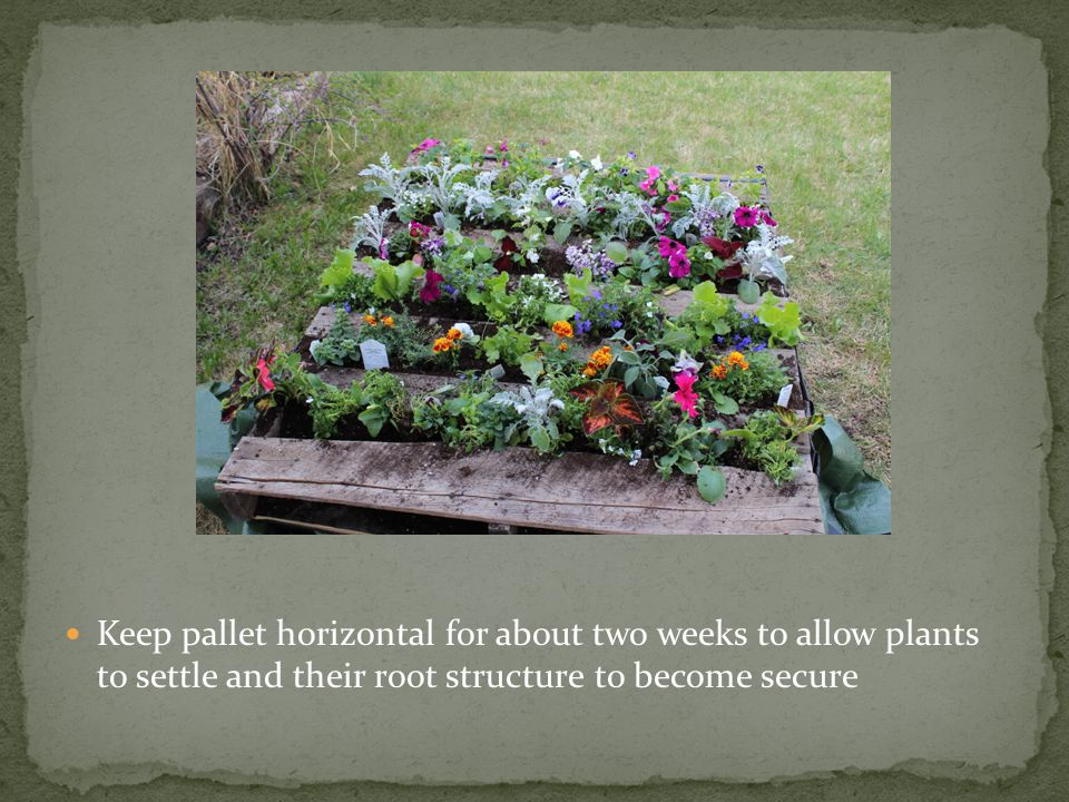 Keep pallet horizontal for about two weeks to allow plants to settle and their root structure to become secure