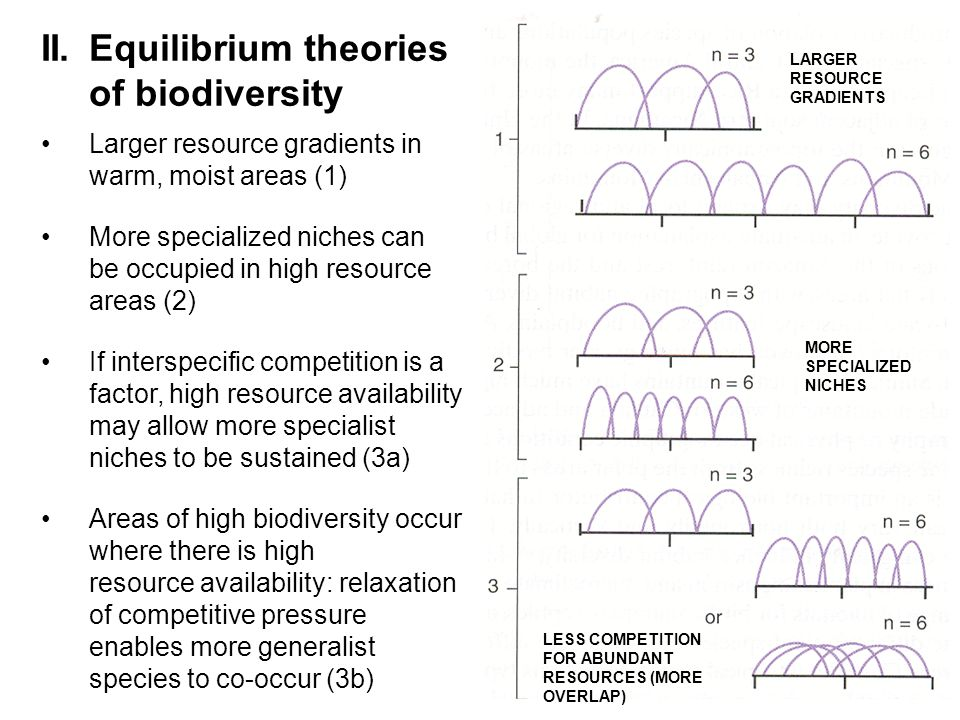 II.Equilibrium theories of biodiversity Larger resource gradients in warm, moist areas (1) More specialized niches can be occupied in high resource areas (2) If interspecific competition is a factor, high resource availability may allow more specialist niches to be sustained (3a) Areas of high biodiversity occur where there is high resource availability: relaxation of competitive pressure enables more generalist species to co-occur (3b) LARGER RESOURCE GRADIENTS MORE SPECIALIZED NICHES LESS COMPETITION FOR ABUNDANT RESOURCES (MORE OVERLAP)