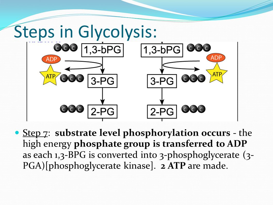 Step 7: substrate level phosphorylation occurs - the high energy phosphate group is transferred to ADP as each 1,3-BPG is converted into 3-phosphoglycerate (3- PGA)[phosphoglycerate kinase].