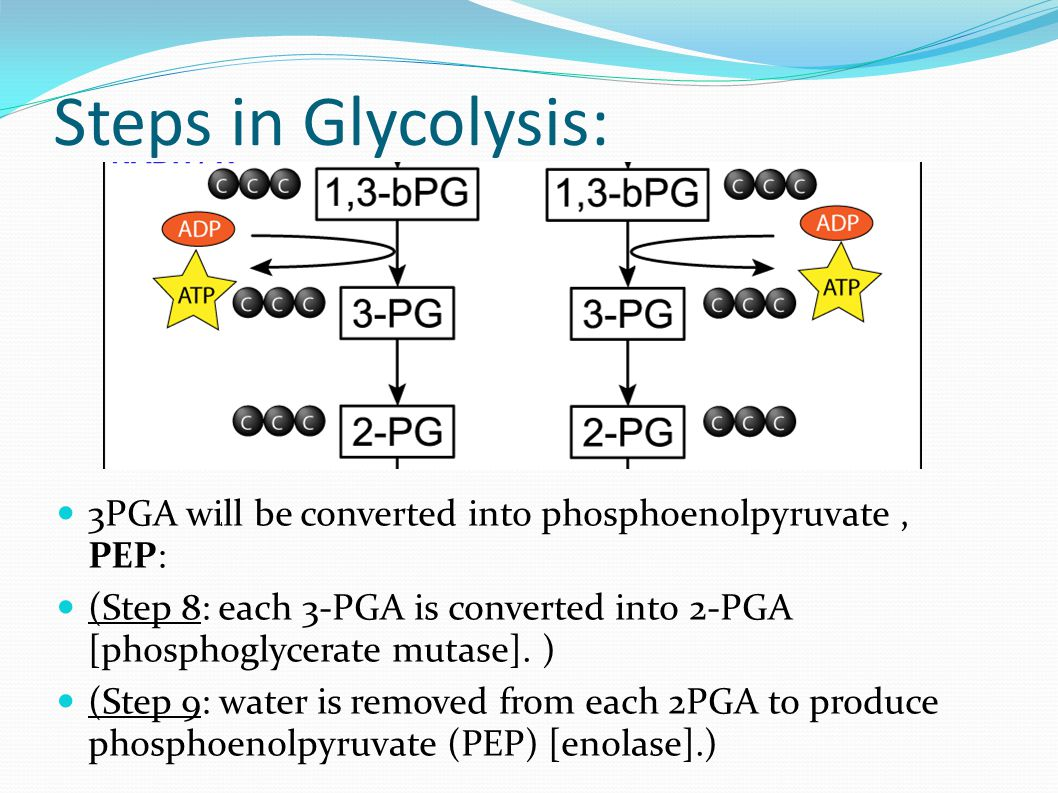 3PGA will be converted into phosphoenolpyruvate, PEP: (Step 8: each 3-PGA is converted into 2-PGA [phosphoglycerate mutase].