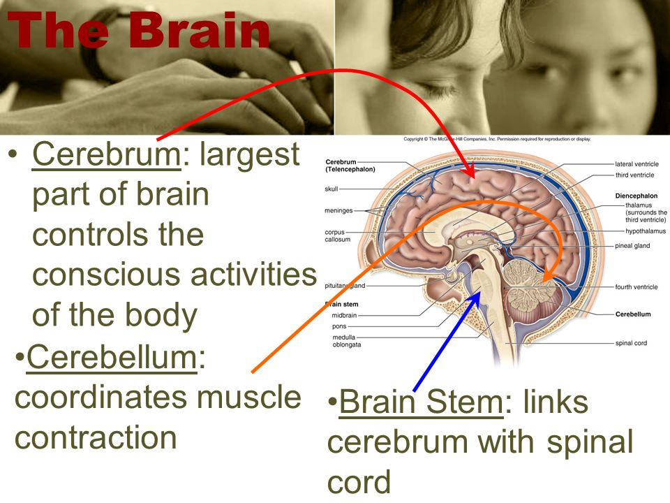 Cerebrum: largest part of brain controls the conscious activities of the body Brain Stem: links cerebrum with spinal cord The Brain Cerebellum: coordinates muscle contraction