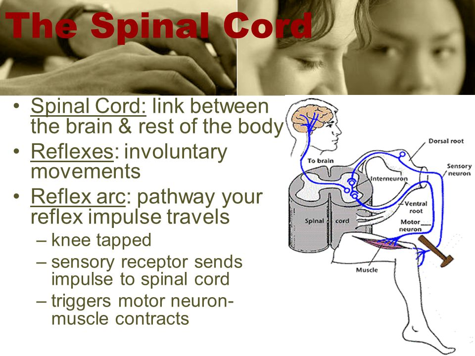 The Spinal Cord Spinal Cord: link between the brain & rest of the body Reflexes: involuntary movements Reflex arc: pathway your reflex impulse travels –knee tapped –sensory receptor sends impulse to spinal cord –triggers motor neuron- muscle contracts